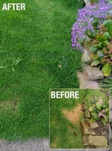 Before and after shot of lawn burn after using Envii Neuturine
